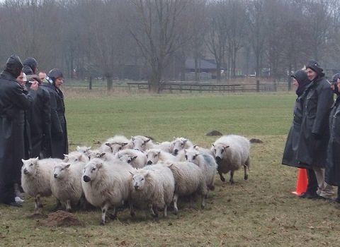 schapendrijven demo groningen