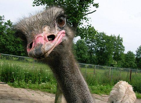 uitje struisvogel boerderij