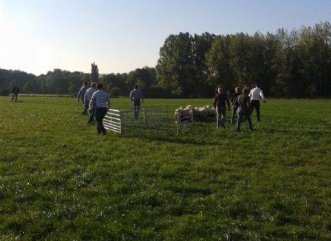 schapen spiegelen